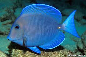 Atlantic Blue Tang.jpg