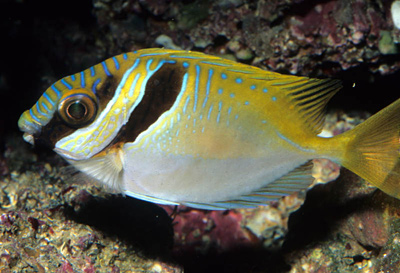 barred-rabbitfish.jpg