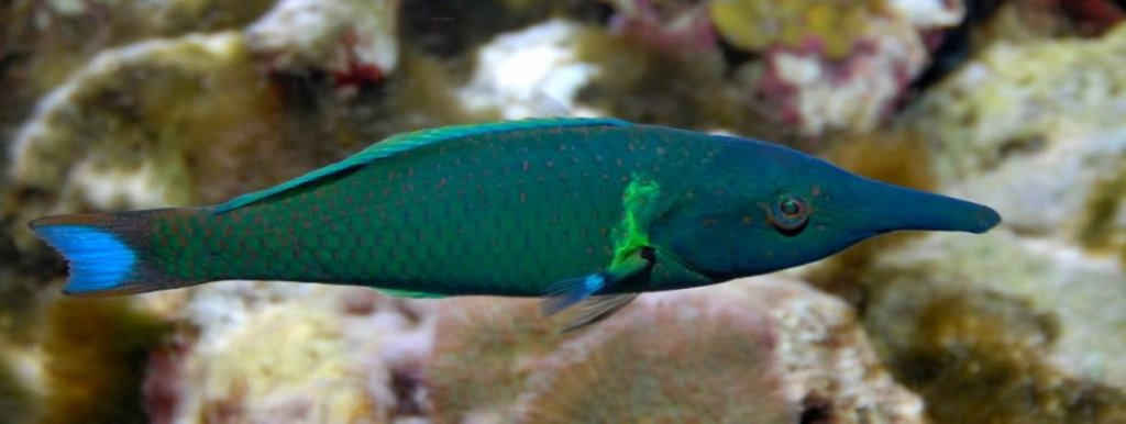 Blue Bird Wrasse (Medium).JPG