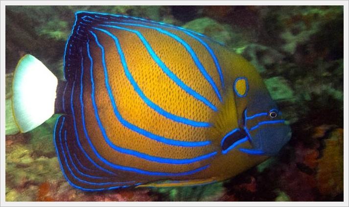 Blue striped angel balıkları.jpg