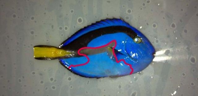 Blue Tang Balığı Bakımı.jpg