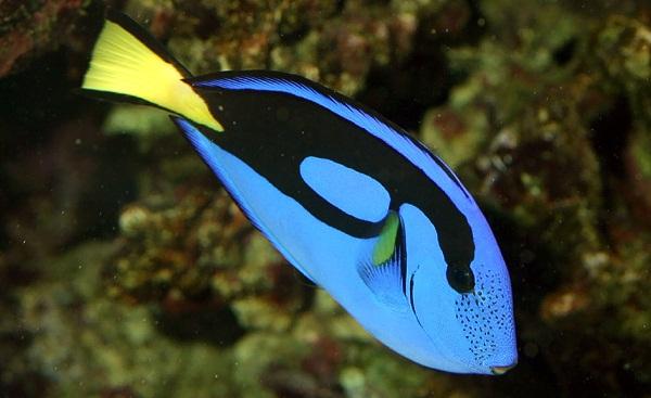 Blue Tang Balığı.jpg