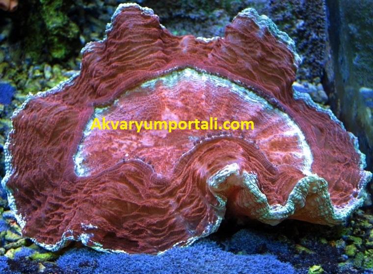 brain coral bakımı besin.JPG