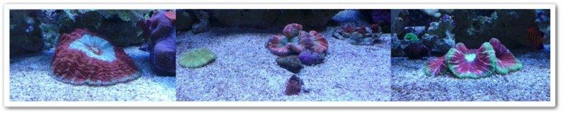 Brain coral bilgileri.jpg