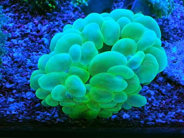 bubble coral.jpg