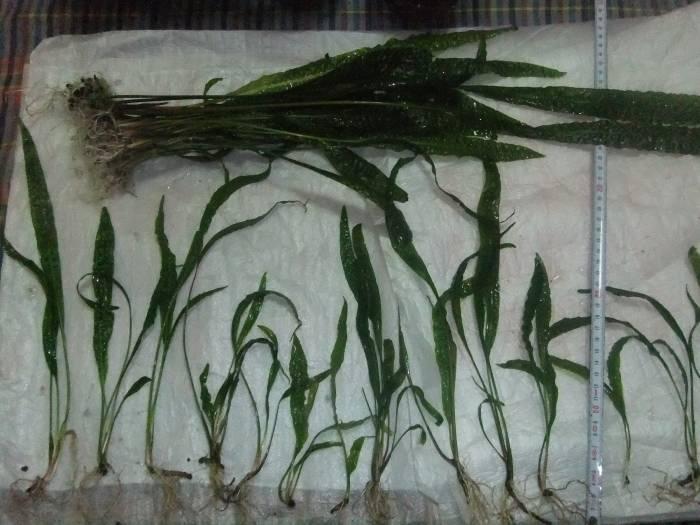 Canli-Amazon-bitkileri-criptocorn-10TL__36625821_0.jpg