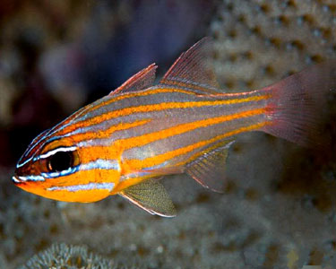 cardinalfish_yellowStriped1.jpg