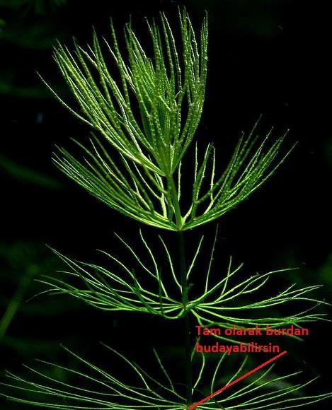 Ceratophyllum-Demersum-8.jpg