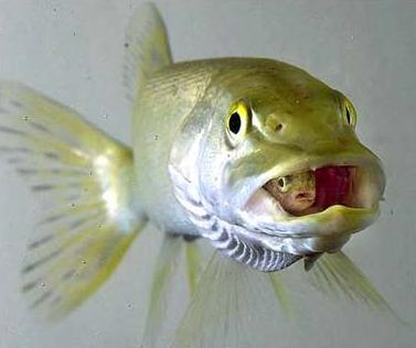 ciklet-balıkları.jpg