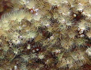 COLONIAL HYDROIDS.jpg