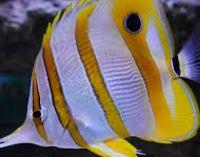 Copperband Butterflyfish.JPG