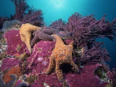 coraline alg oluşması canlı kaya.jpg