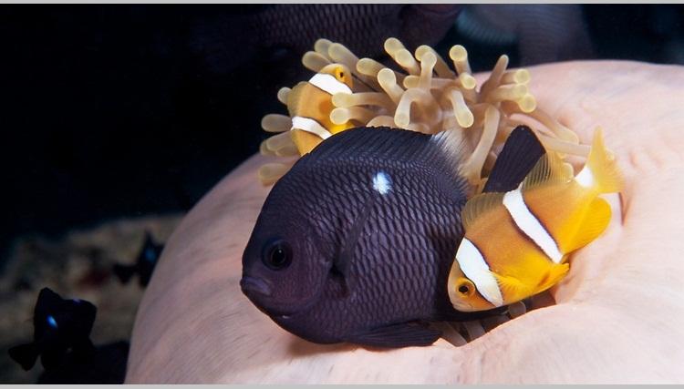 Damsel balıkları-domino damsel.jpg