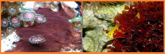 deniz akvaryumu yosun.jpg