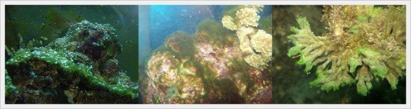 deniz akvaryumu yosun sorunları.jpg