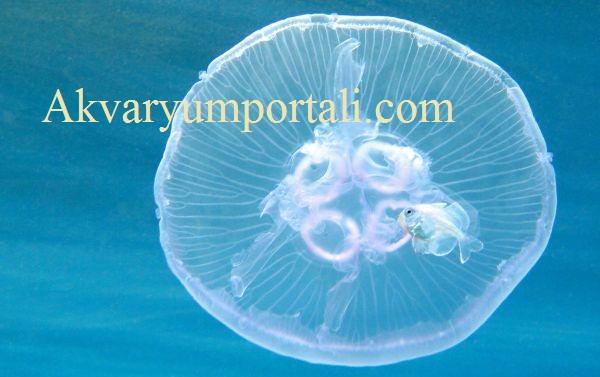 denizanasi akvaryum yem.jpg