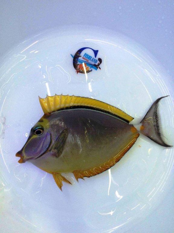 fishland naso tang.jpg