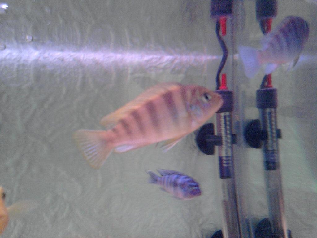 Şaşırtıcı derecede güzel akvaryum balık - papağan çiklit
