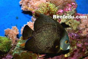 French-Angelfish-300x201.jpeg