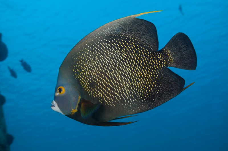 french-angelfish-close.jpg