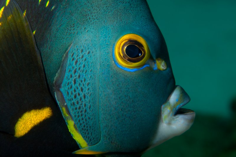 french-angelfish.jpg