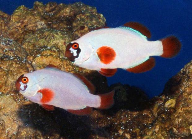 gold-nugget-clownfish.jpg