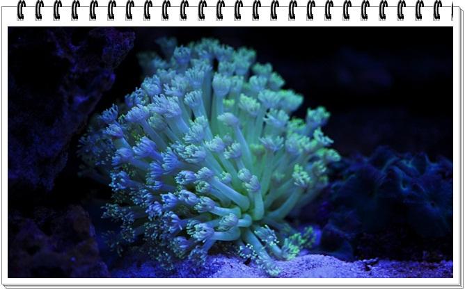 goniopora coral açmıyor.jpg