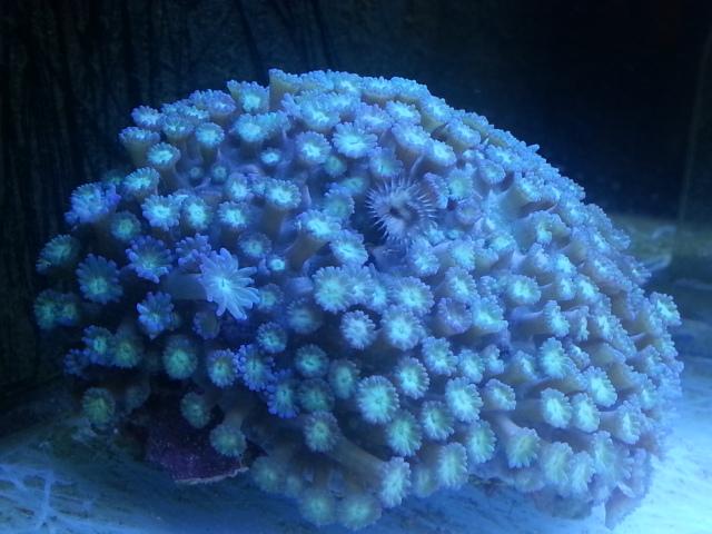 Goniopora Lps coral.jpg