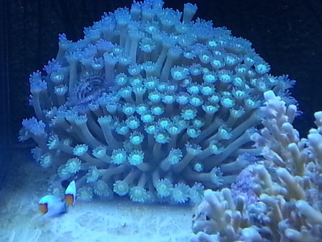 goniopora mercan polip.jpg