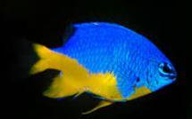 Half Blue Yellow Tail Damsel.JPG