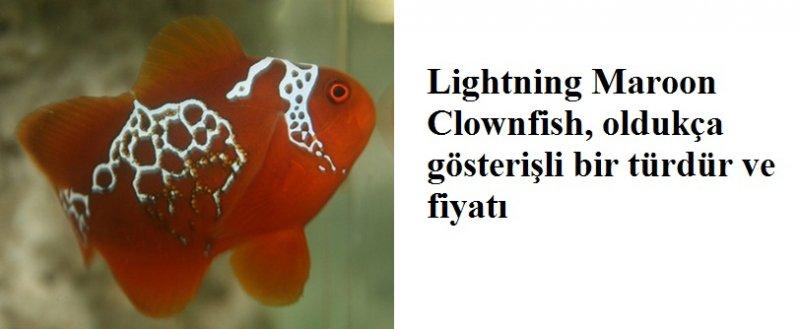 Lightning Maroon Clownfish Palyaço balığı.jpg