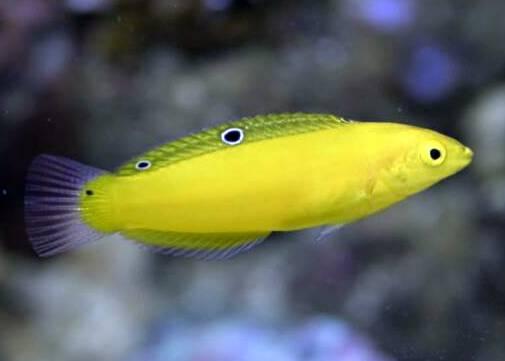 marine_wrasse_yellow.jpg