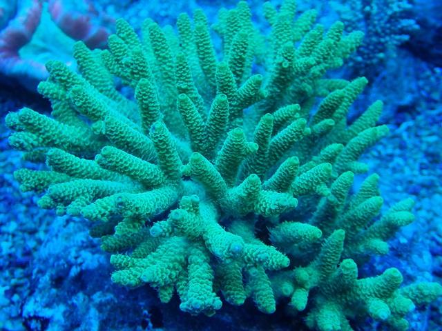 millepora mercan türü.jpg