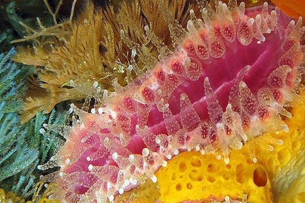 monomyces rubrum.jpg
