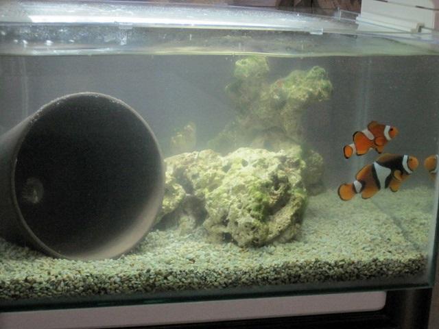 nano reef palyaço balığı.JPG