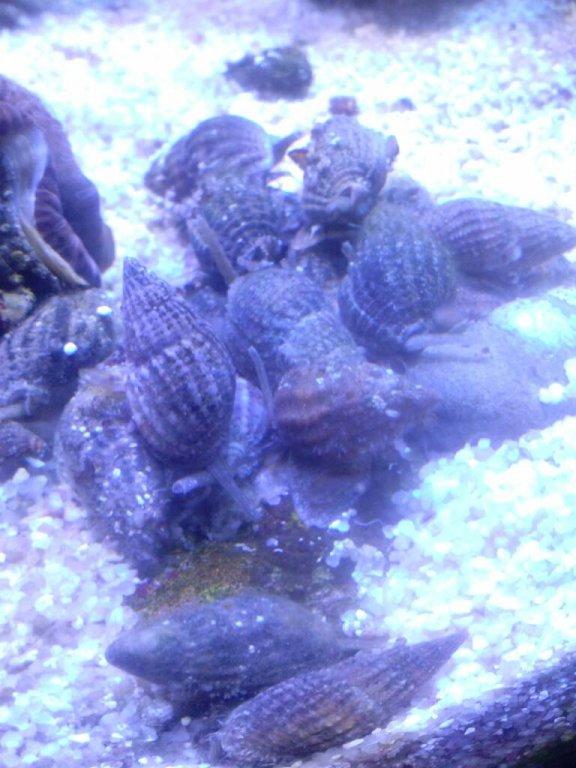 nassa snail.jpg