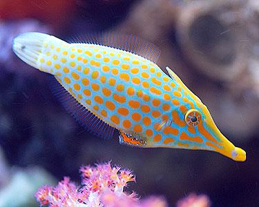 orangespottedFilefish1.jpg
