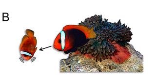 Palyaço Balığı Davranış Dili.png