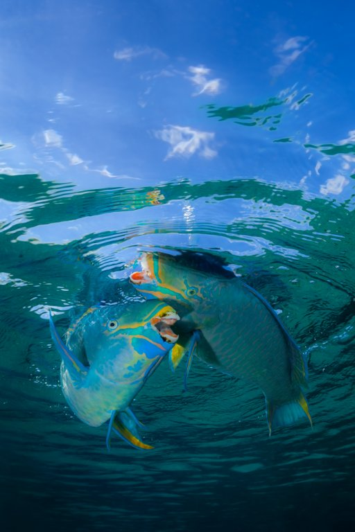 parrotfish-confrontation.jpg
