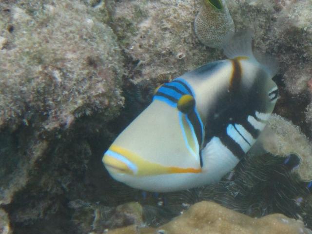 picasso-triggerfish-640x480.jpg