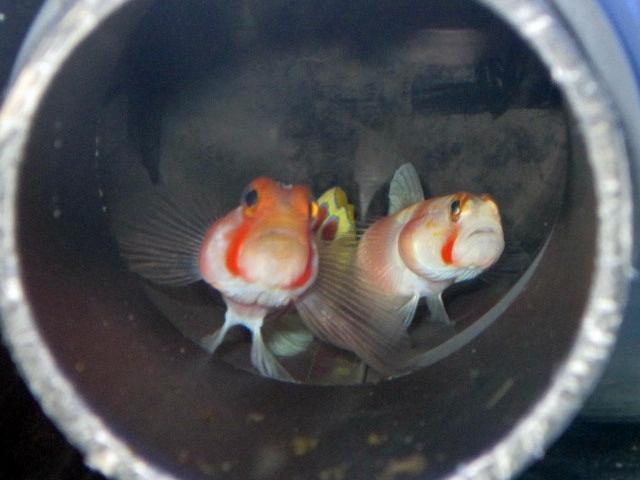 Pinkbar Gobi Balığı.JPG
