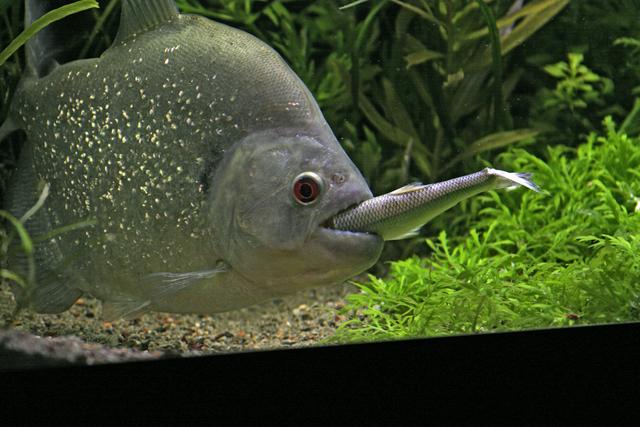 piranha balığı.jpg