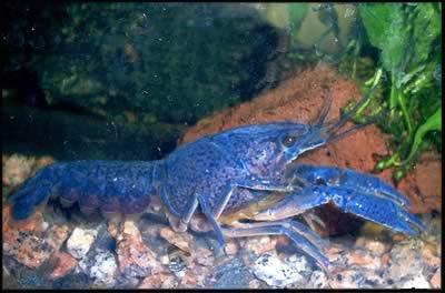 Procambarus Allenii - Mavi Kerevit.jpg