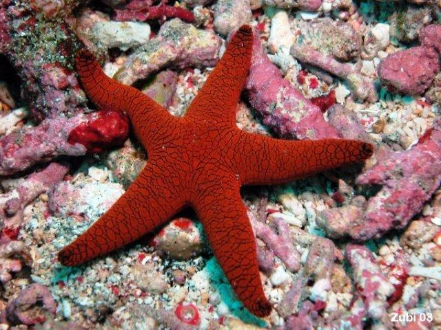 red starfish.jpg
