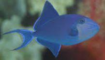 Redtooth Triggerfish.JPG