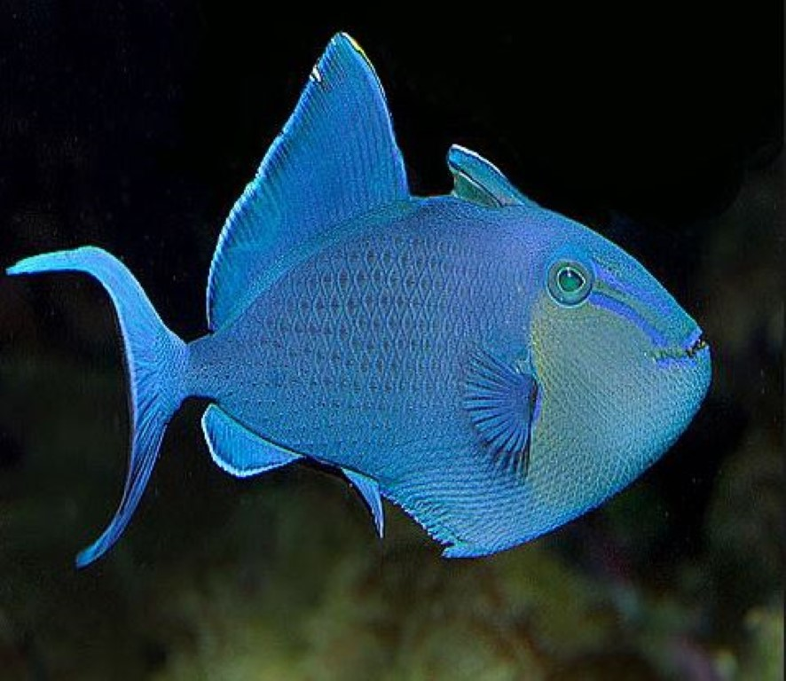 Redtooth Triggerfish (Medium).JPG