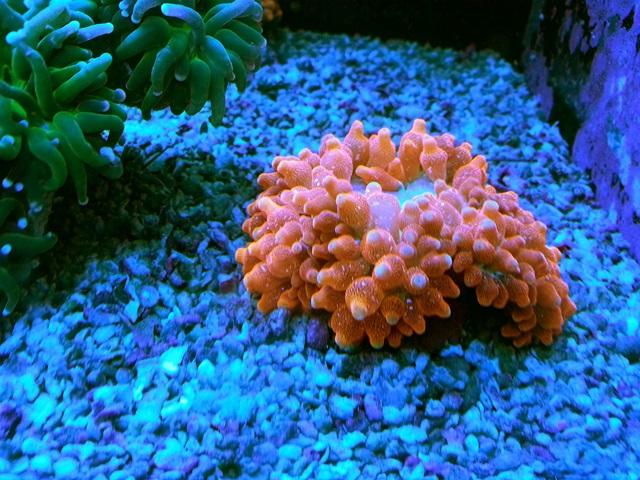 rose anemon.jpg