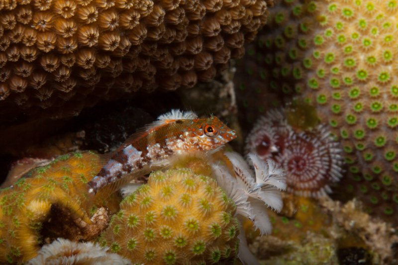 saddled-blenny.jpg