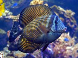 sailfin tang balığı.jpg