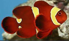 Spine-cheeked Anemonefish.JPG